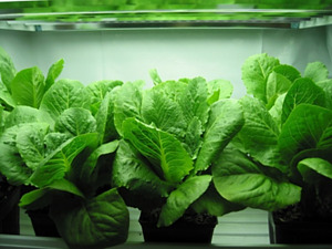 Hydroponics Indoor Growing Plants